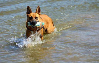 Chien qui prend un bain de mer et joue